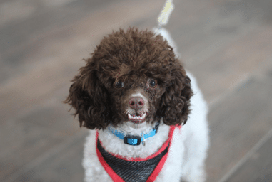 Poodle Dog Showing Teeth Dental Preventative Care