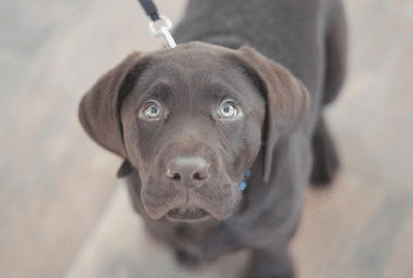Brown Lab Puppy Preventative Care